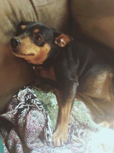 My miniature pinscher, Trixy